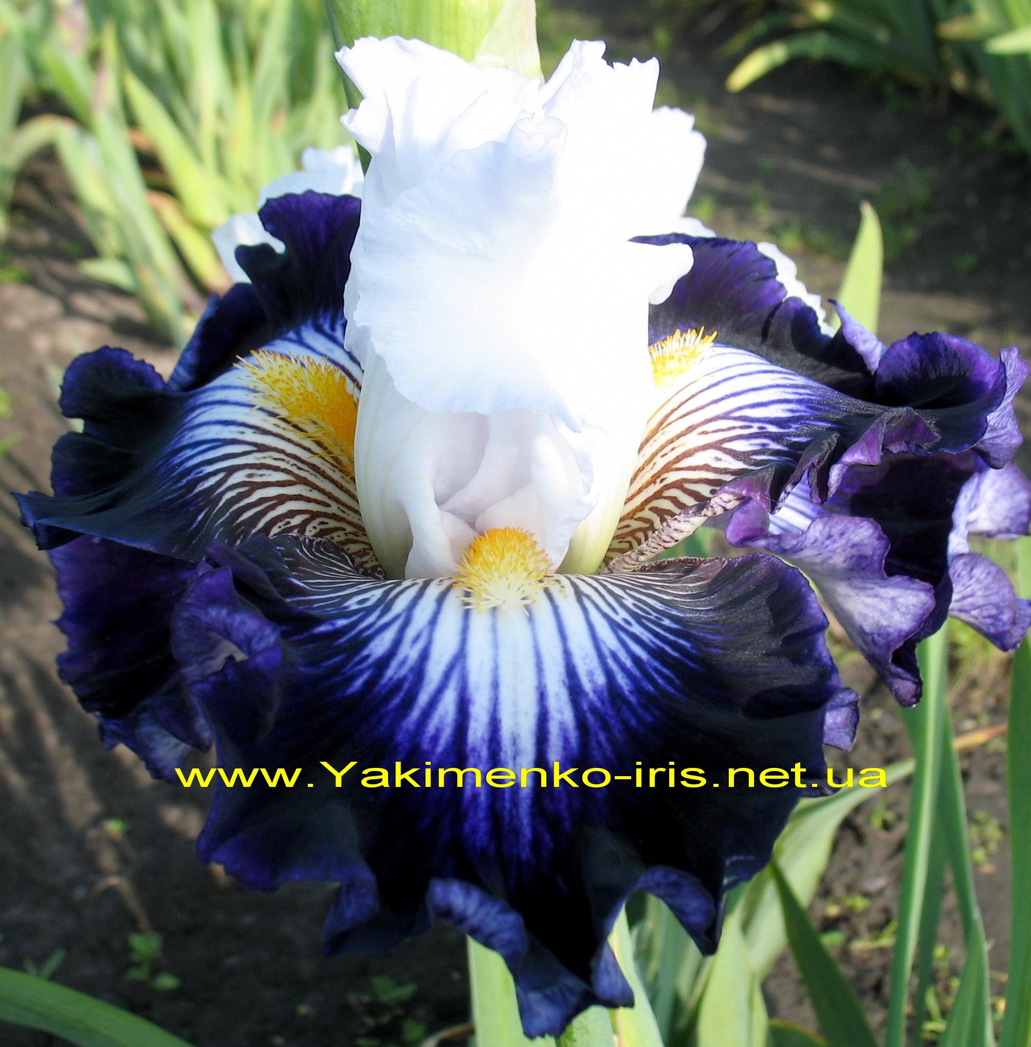 Купить посадочный материал цветы ирисы березники доставка цветов
